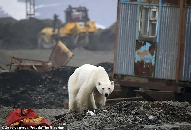 It is thought the polar bear walked nearly 1,000 miles from the Russian Arctic shore south to the mining city of Norilsk