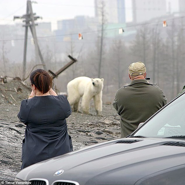 Residents took videos and pictures of the emaciated polar bear as it made its long journey from its natural habitat over the Taymyr Peninsula