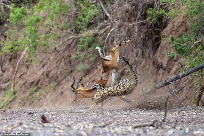 Desperate: The impala makes one last attempt to escape as it lands with its front hooves on the ground while the leopard remains airborne