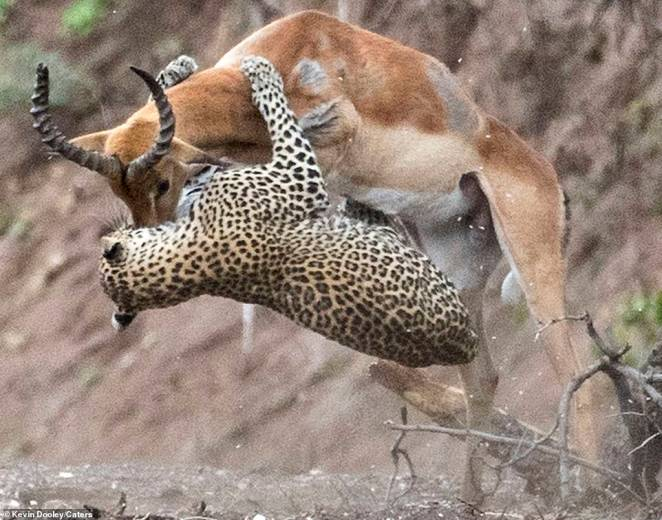 Counter attack:The impala appears to launch a back as it lowers its horns towards the leopard as they rotate during the split-second strike