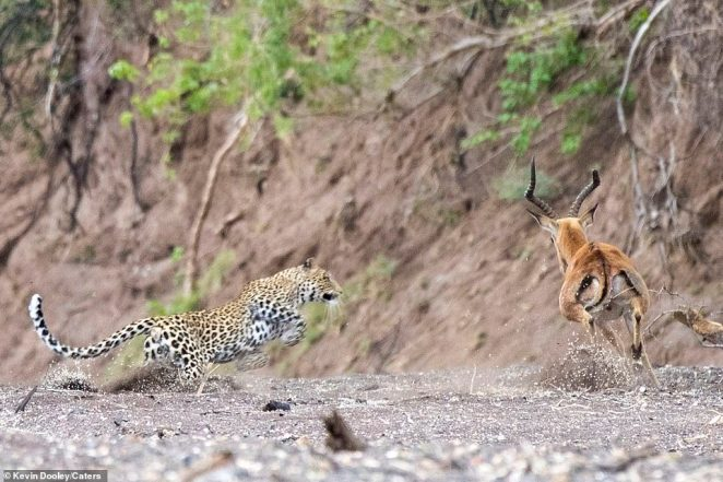 Approach: The big cat starts its jump as it sprints towards the female antelope. The beast begins to open its mouth as its prey desperately tries to dash away