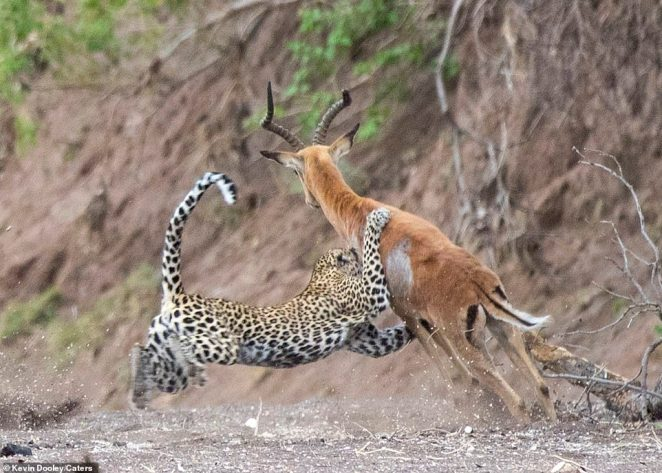 Gripping: The ruthless leopard sinks its claws its prey and starts to wrap its arms around its lunch. In a last-ditch effort to escape, the impala starts to jump to try to avoid the big cat's grasp