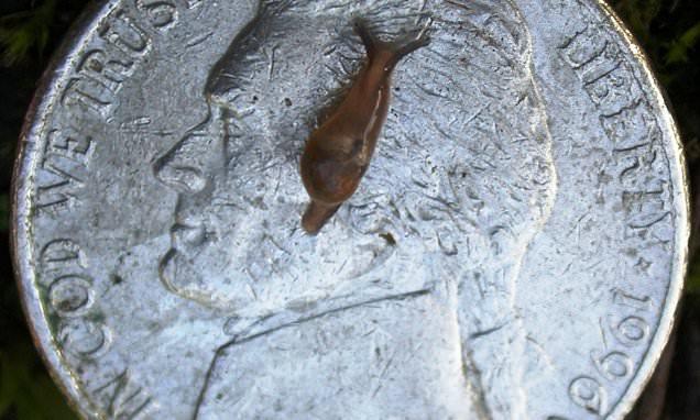 Invasive slug-snail hybrid is spreading rare rat lungworm ...