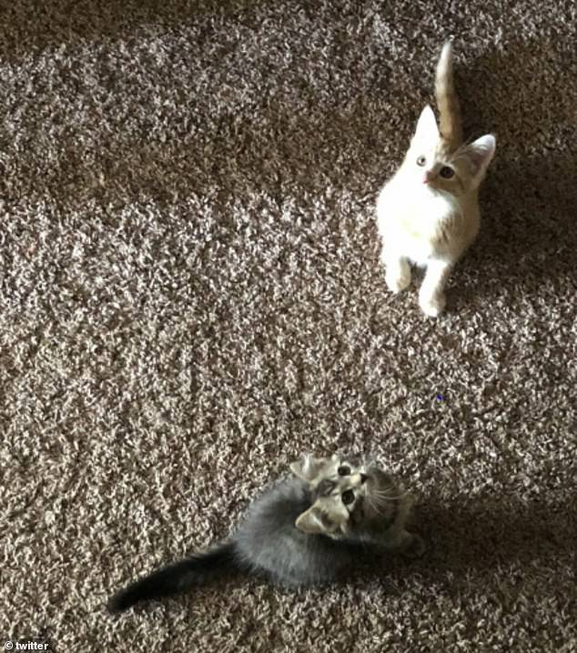 Another user from America couldn't help but show off his two adorable tiny kittens as they played with one another