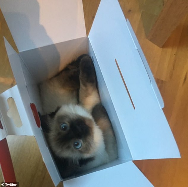 Peekaboo! Another catlover from England shared his Siamese kitten tucked away as it hid inside a box