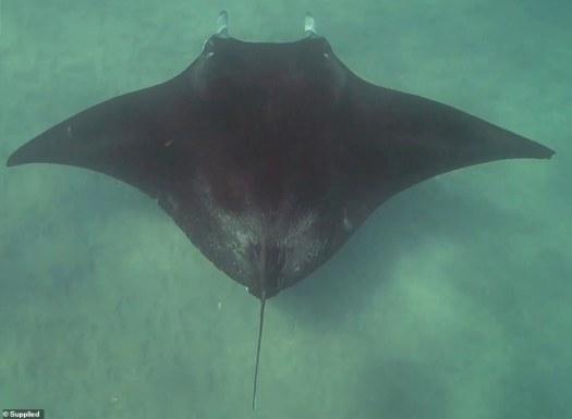 El fotógrafo subacuático, Jake Wilton, buceaba con el locutor de televisión británico y biólogo marino, Monty Hall, en Ningaloo Reef, en Australia Occidental, cuando se les acercó la manta raya.