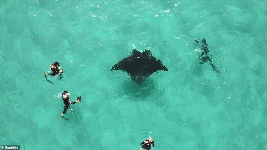 Las desgarradoras imágenes muestran el rayo (en la foto), apodado Freckles por los buceadores locales, que se acerca al grupo en Ningaloo Reef en Australia Occidental