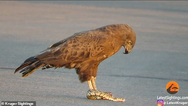 Snake tries to escape as it is eaten ALIVE by eagle in South Africa