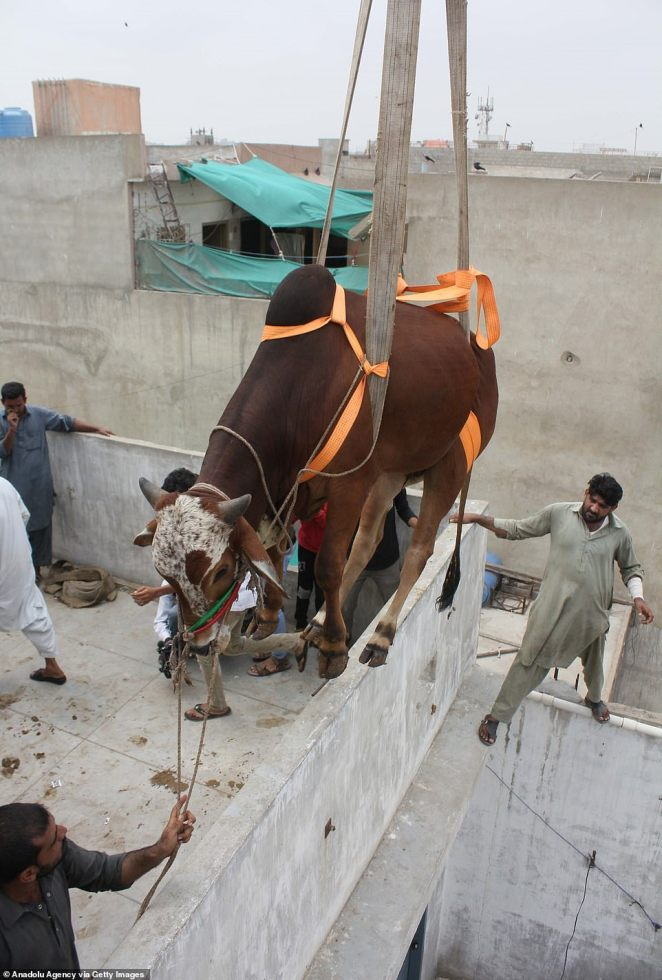 Using cow-tion: The farmers ensure the animal is carefully strapped and secured as it is lowered towards the ground