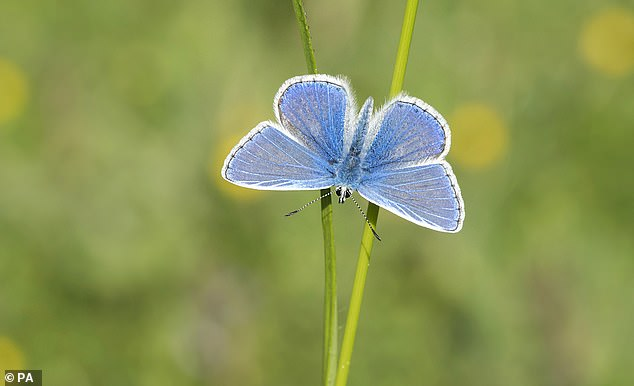 Experts are predicting that the July heatwave and Met Office forecasts for above-average temperatures in August might mean that the common blue has its 'best ever summer', Butterfly Conservation experts said