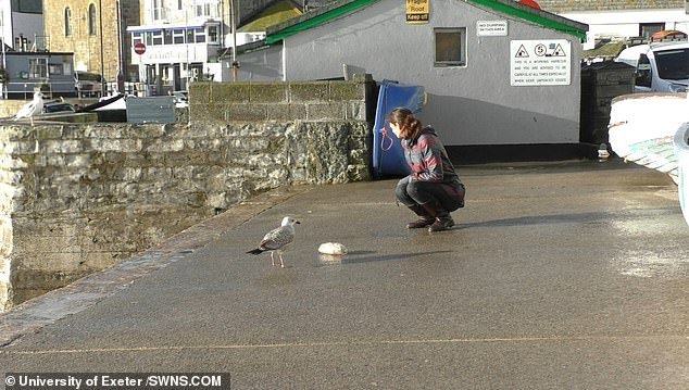 The researchers used a bag of chips as bait for the herring gulls in various coastal Cornish towns.u00A0One bird stole the food within six seconds when a researcher was looking off to the side (pictured)