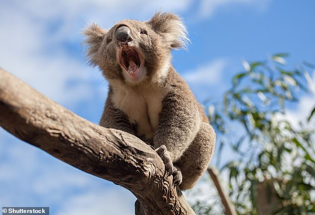 Process: Faecal samples from wild koalas who ate messmate were used to create acid-resistant capsules filled with the precise microorganisms essential in the process