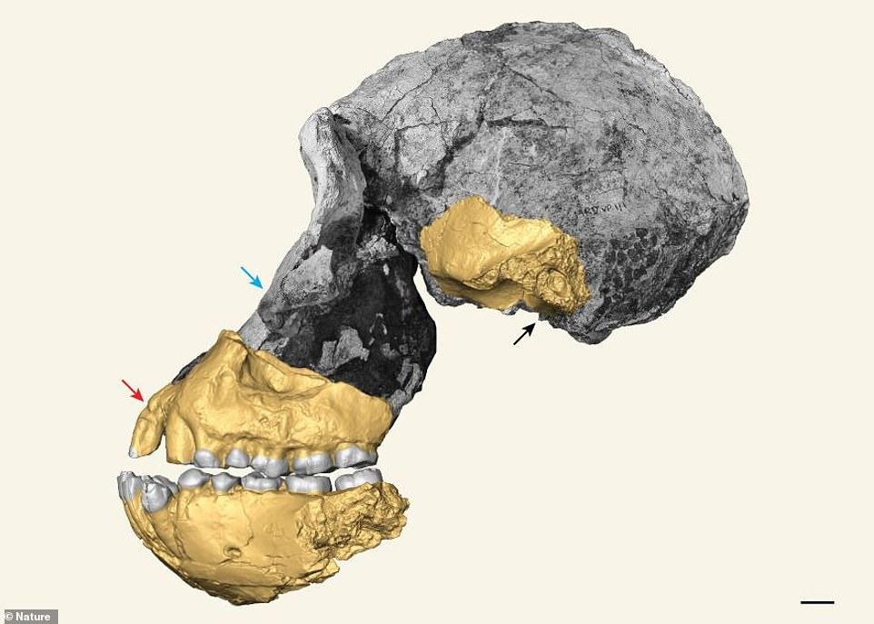 Fossil Ancestor Oldest Human