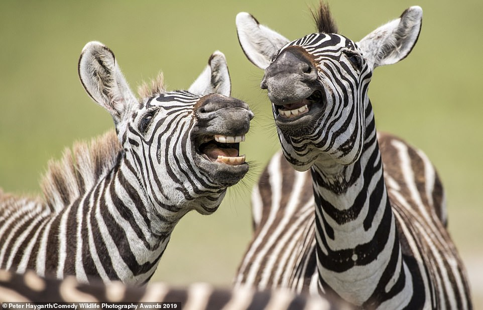 Smile! A pair of zebras also made the shortlist for showing off their pearly white teeth to match their beautiful stripes