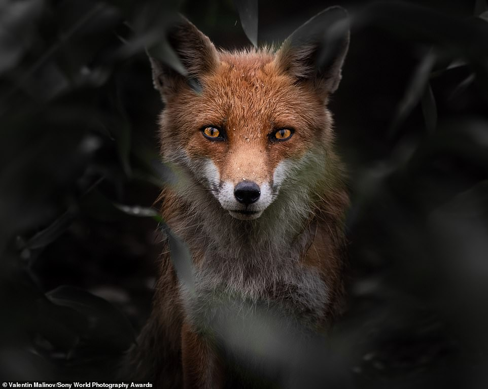 This striking image of a red fox was captured by Valentin Malinov from Macedonia. It has been entered in the natural world and wildlife category in the open competition