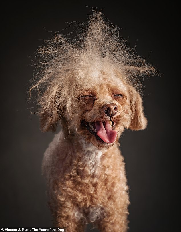 Seven-year-old Toy Poodle Peetrie made Vincent think of a Troll doll and stole the show at another dog's photoshoot