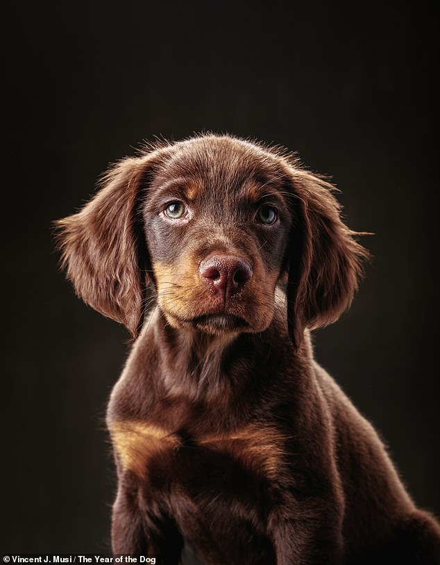 Vincent photographed Archie, a gorgeous Gordon Setter, when he was just two-months-old,  and then again a year later