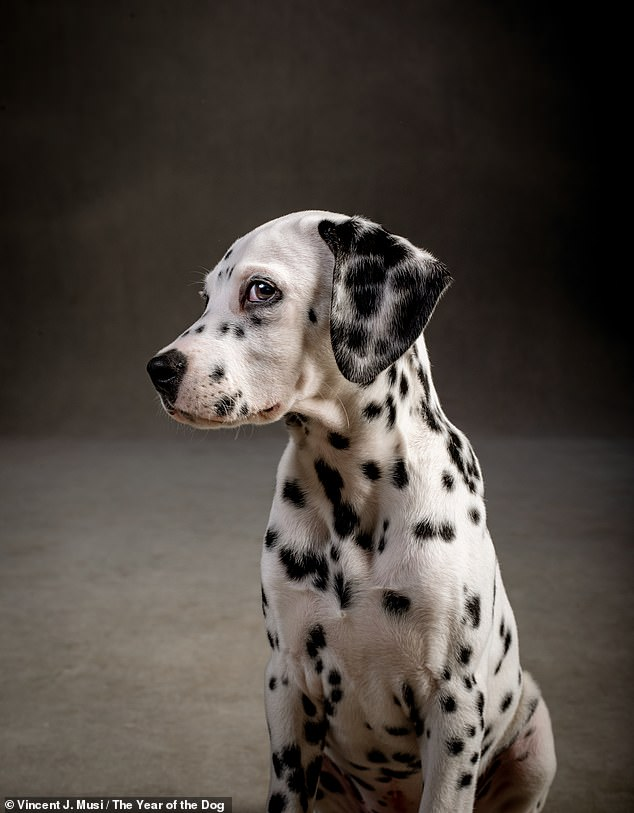 Dalmatian Fox, Vincent said, was as young and restless as you'd expect a puppy to be, and peed, played and chased balls during the whole photoshoot
