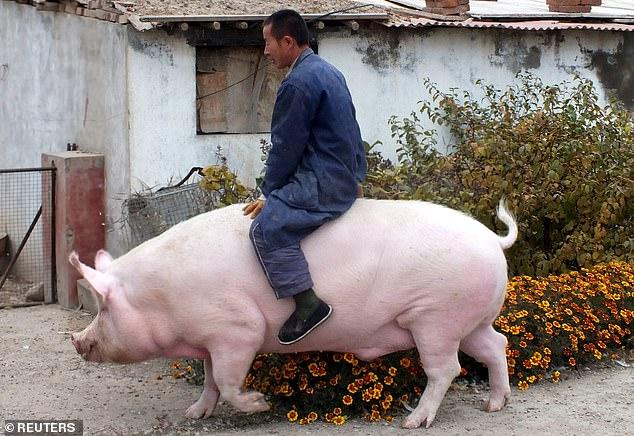 China cria 'super-porcos' do tamanho de ursos polares para compensar a escassez de carne 22