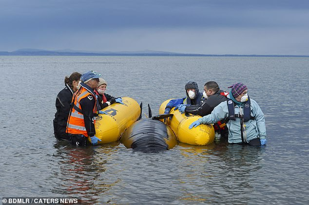 The volunteers take out a rubber whale into the ocean to simulate how they would actually have a real mammal