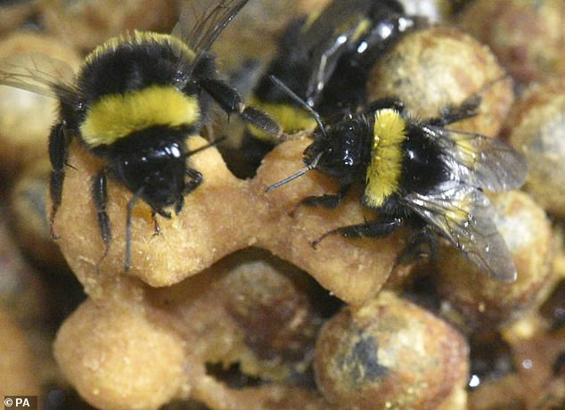 Around 20 bees were put through their paces in the study, published yesterday in The Journal of Experimental Biology (stock image)