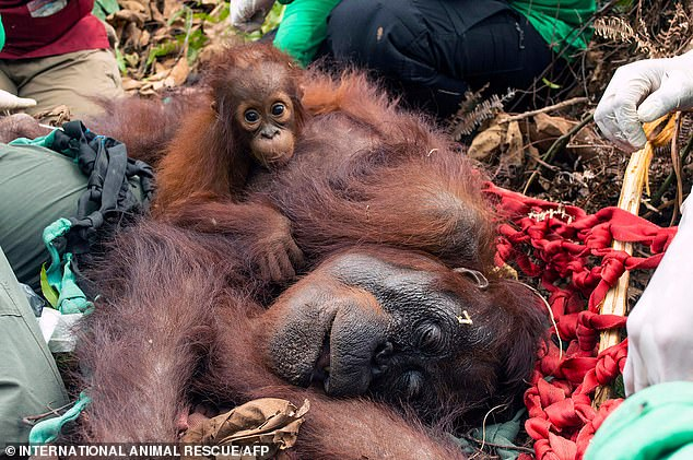 Orangutan nicknamed Mama Sifa (right) and her cub Sifa being released into the forest in Ketapang, West Kalimantan, on Friday