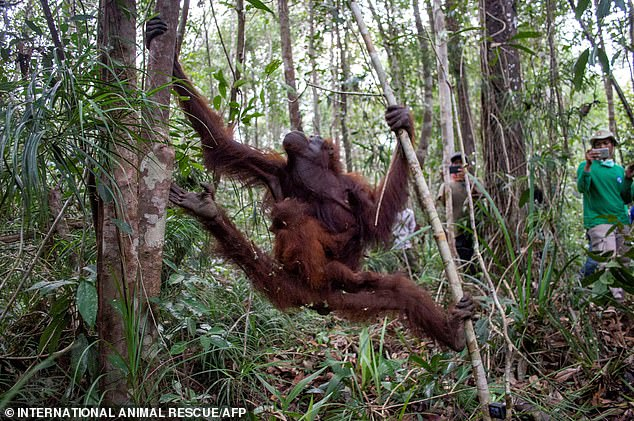 Since fires hit the forest areas in Ketapang in July six orangutans have been rescued, including Mama Sifa (pictured) and her baby