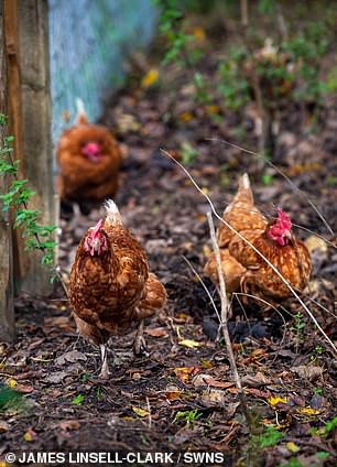 Chickens on the farm for food