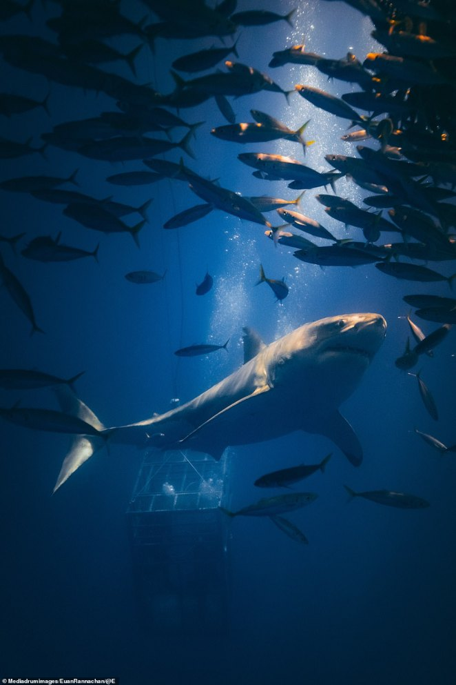 A shark swims among a shoal of fish and a ray of light from the water's surface. Rannachan admits he is no longer afraid of sharks - merely fascinated
