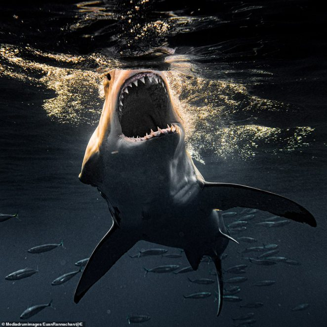 Rannachan's fascination with sharks was born out of fear, but he is no longer afraid of the magnificent specimens