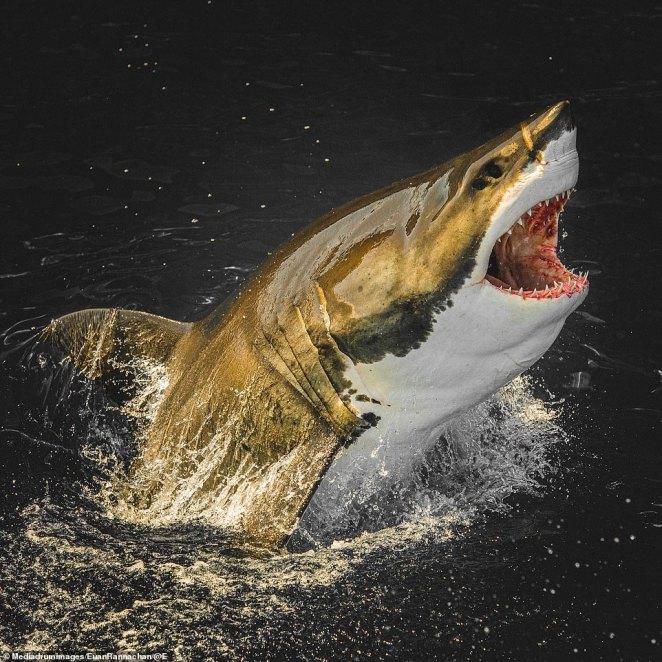 Breach: Rannachan's photos capture the haunting black eyes of a shark, focusing on its next target