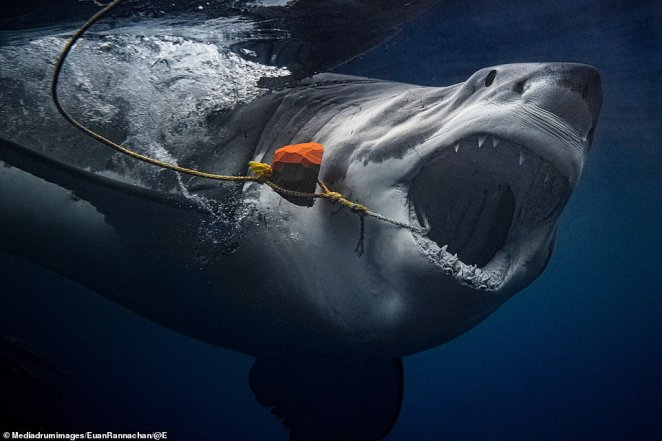 A huge Great White chomps on bait, just inches away from daring photographer Euan Rannachan