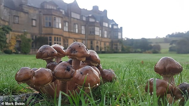 The varieties of mushrooms that have been flourishing include giant puffballs and fly agaric, as well as the scarily-named dead man's fingers and devil's fingertip. Pictured,Minterne Gardens, in Dorset