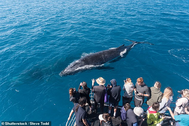 A group of whale watching tourists observe two humpback whales; one on the surface and the other underwater in Hervey Bay, Queensland in 2018