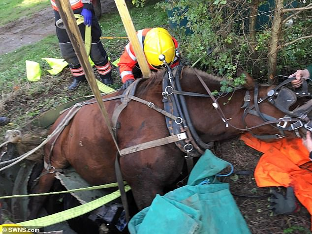The horse called Bill had to be saved when he fell into the deep hole after being spooked in field in Hildersham near Cambridge