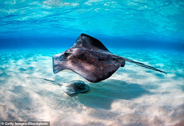 Stingrays can be difficult to spot in the water as they often spend a lot of time partially buried in the sand, moving with the sway of the tide
