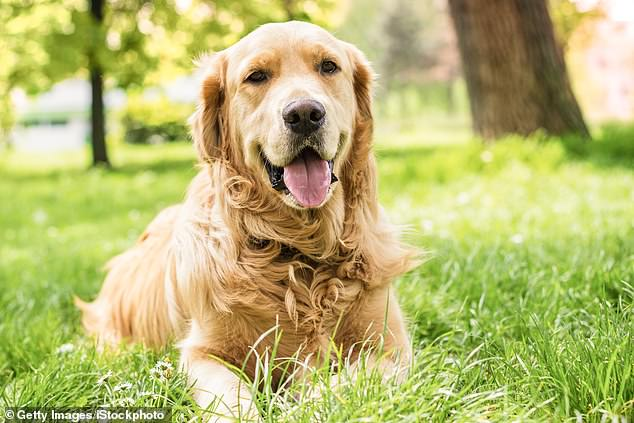 A man who pleaded guilty to having sex with dogs including a golden retriever has had his sentencing delayed (stock image)