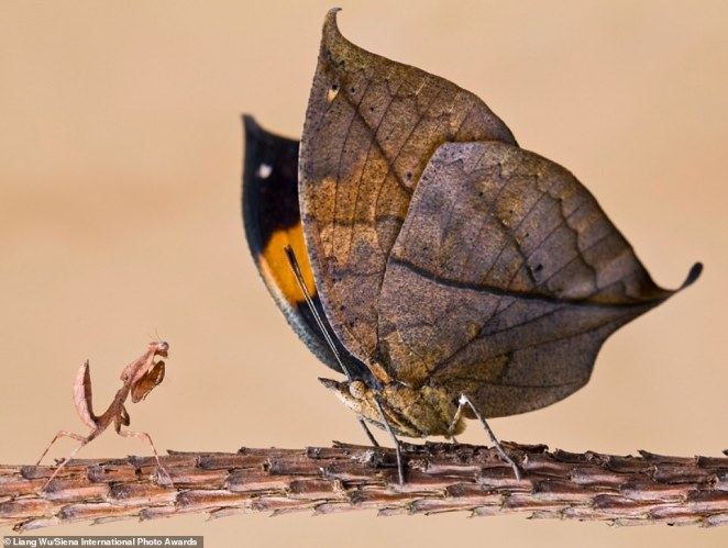 This startling confrontation was captured by photographer Liang Wu in Shanghai. The image is shortlisted in the Beauty of Nature category