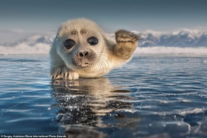 This image of an adorable seal pup has been given an honorable mention in the Animals in their Environment category. It was taken in Lake Baikal, Russia