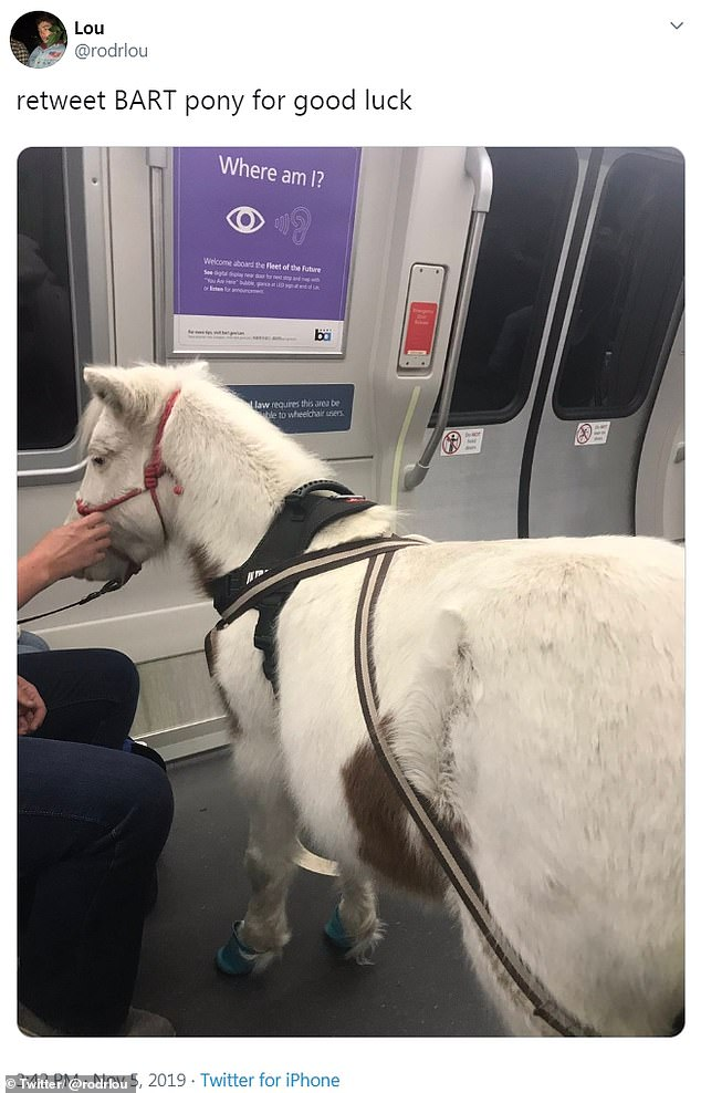 Sweets, the mini horse (pictured) who lives in California, was allowed on a commuter train alongside her owner because she's a service animal