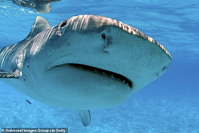 The dead Tiger Shark was more than 10ft long and was one of five considered a threat to those in the sea (stock image)