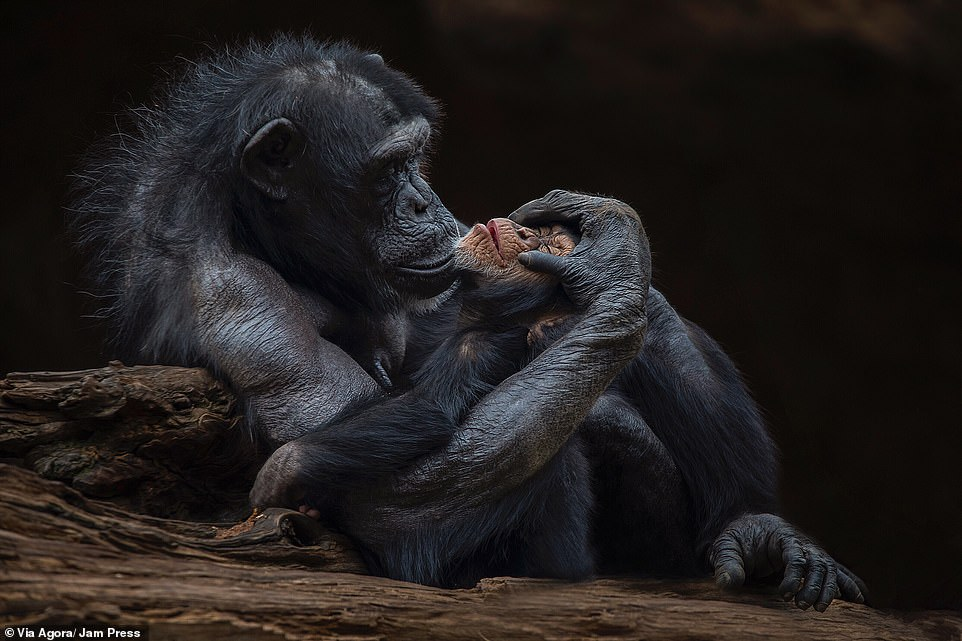 """""""Motherly love"""" by Santiago López: This image by photographer Santiago Lopez, entitled 'Motherly Love', was among the 50 pictures that made it through to the final. It shows a mother gently cradling her child on a piece of wood at a zoo in Tenerife.López spent two hours at the Loro Parque zoo in Tenerife, Spain, to capture his image"""