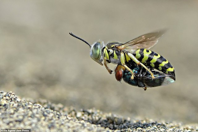'Sand wasp with prey' by Imam Primahardy: This sand wasp is seen carrying a fly to eat at a later date in Surabaya, Indonesia