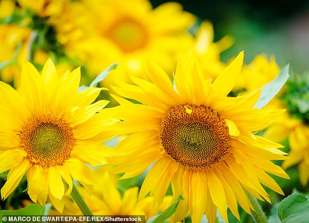 A bright, vibrant sunflower (pictured) is better suited to the outgoing personality of a Leo