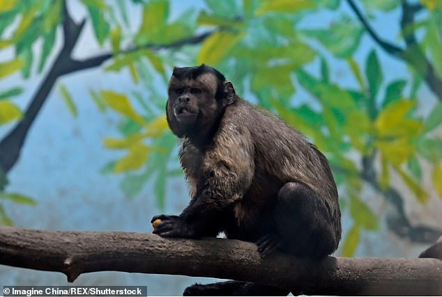 The zoo said the monkey had a hard time finding romance mainly due to 'a lack of fate'