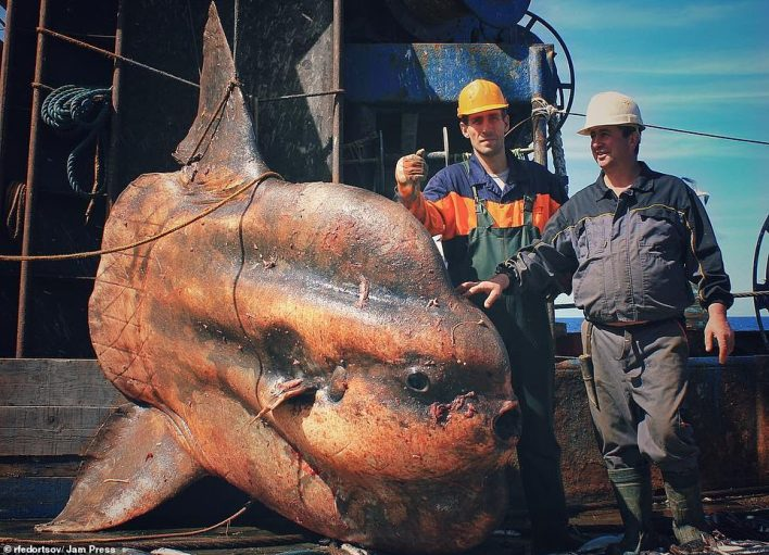 Big boy: This creature - a big sunfish - is one of the larger catches on the trawler where it is pictured with two crew members