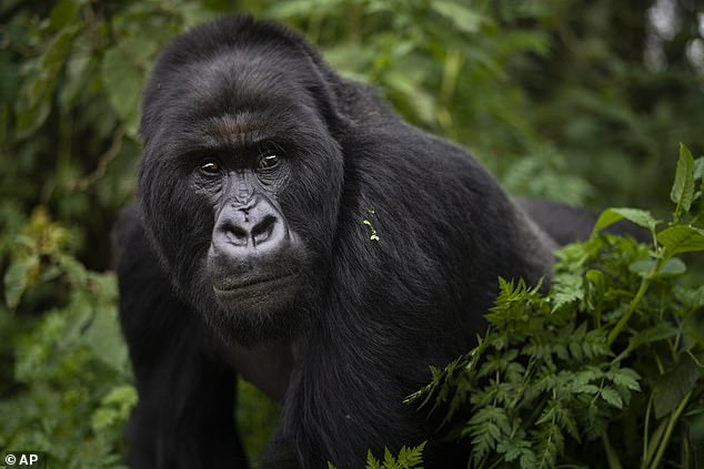 Miocene apes, those that lived millions of years ago and first began eating the ethanol-infused overripe fruit, probably resembled modern day apes, such as gorillas (pictured) and chimpanzees