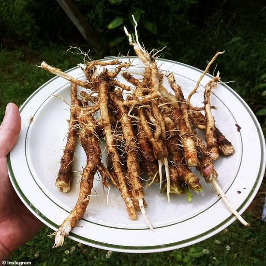 Image result for pinterest Chicory Root