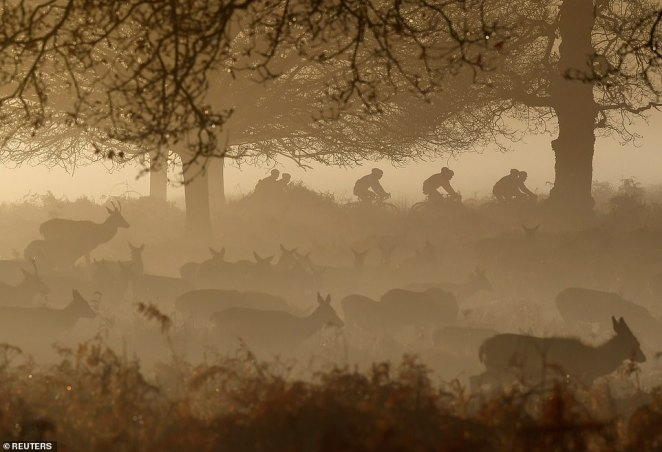 Cyclists race past a herd of deer as they graze in the morning mist in Richmond Park, west London, on Monday