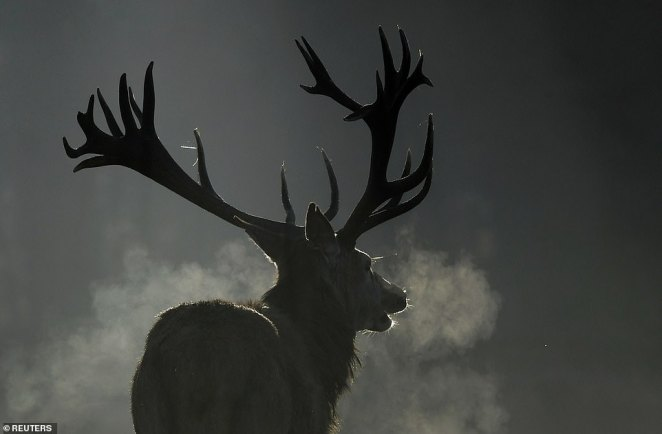 A deer is seen breathing in the early morning mist in Richmond Park, west London, on Monday. It comes as the temperature starts to plummet across the country
